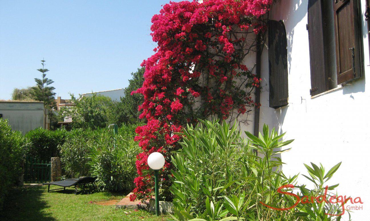 Bougainvilla im Garten