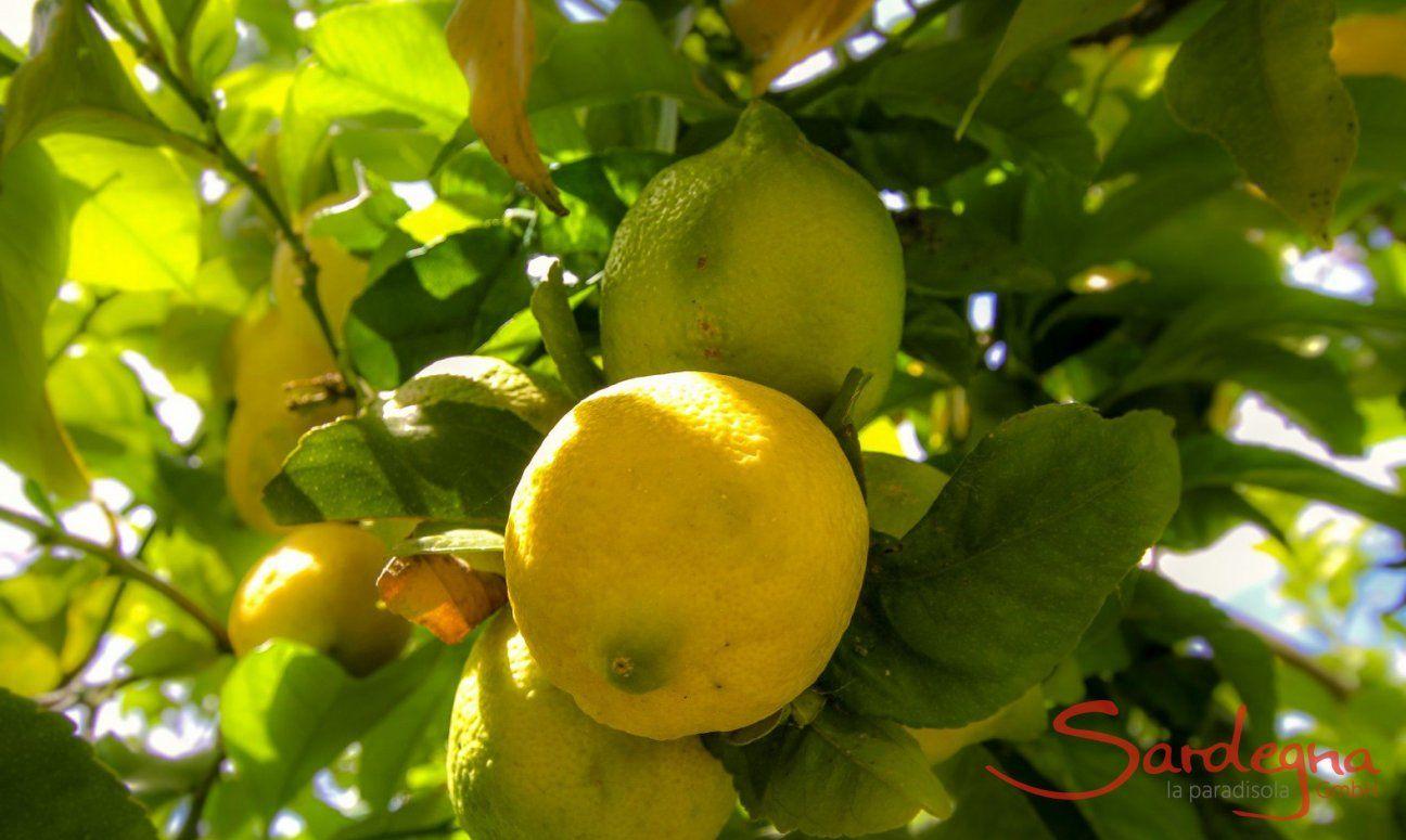 Mediterraner Zitrusbaum im Garten