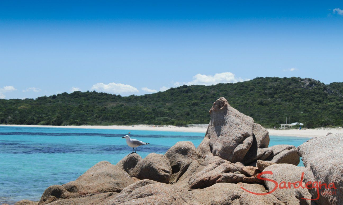Eine Möwe sitzt auf faszinierend geformtem Felsen vor dem Strand Liscia Ruja
