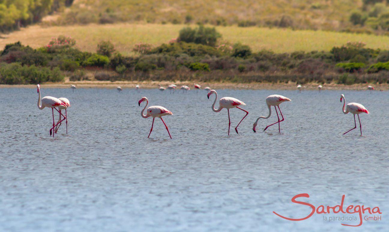 Flamingos waten durch die Lagune von Torresalinas