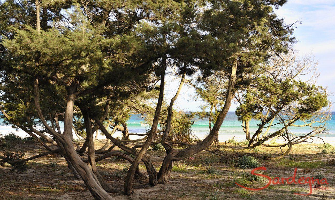 Wocholderbäumer am gleichnamigen Strand Cala Ginepro bei Cala Liberotto