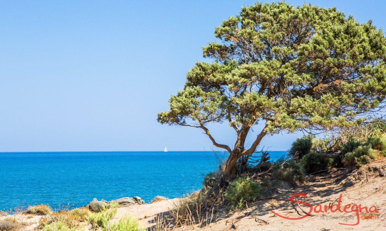 Vom Wind geformter Wocholder und Blick aufs Meer von Capo Ferrato