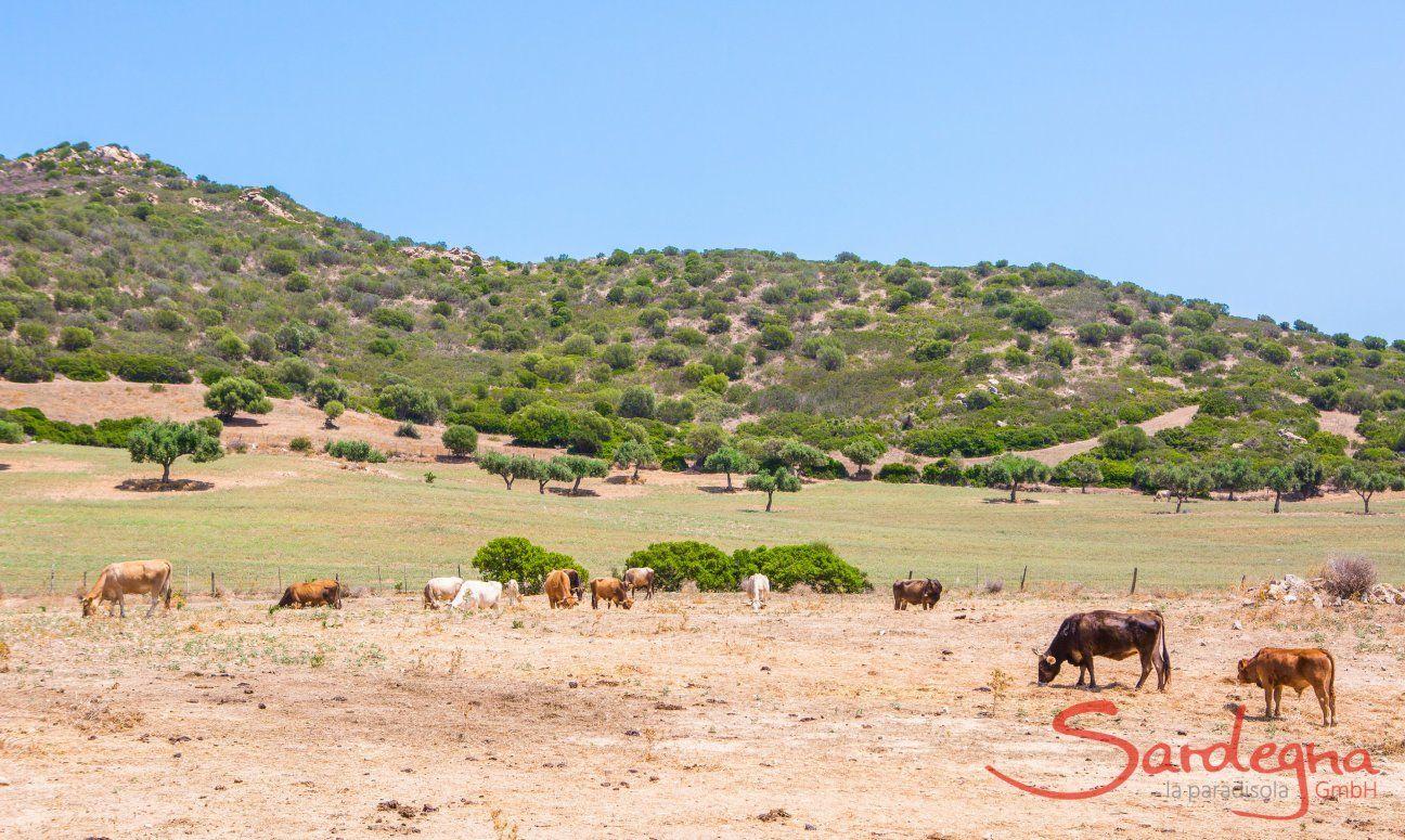 Grüne Landschaft mit grasenden Kühen am Capo Ferrato