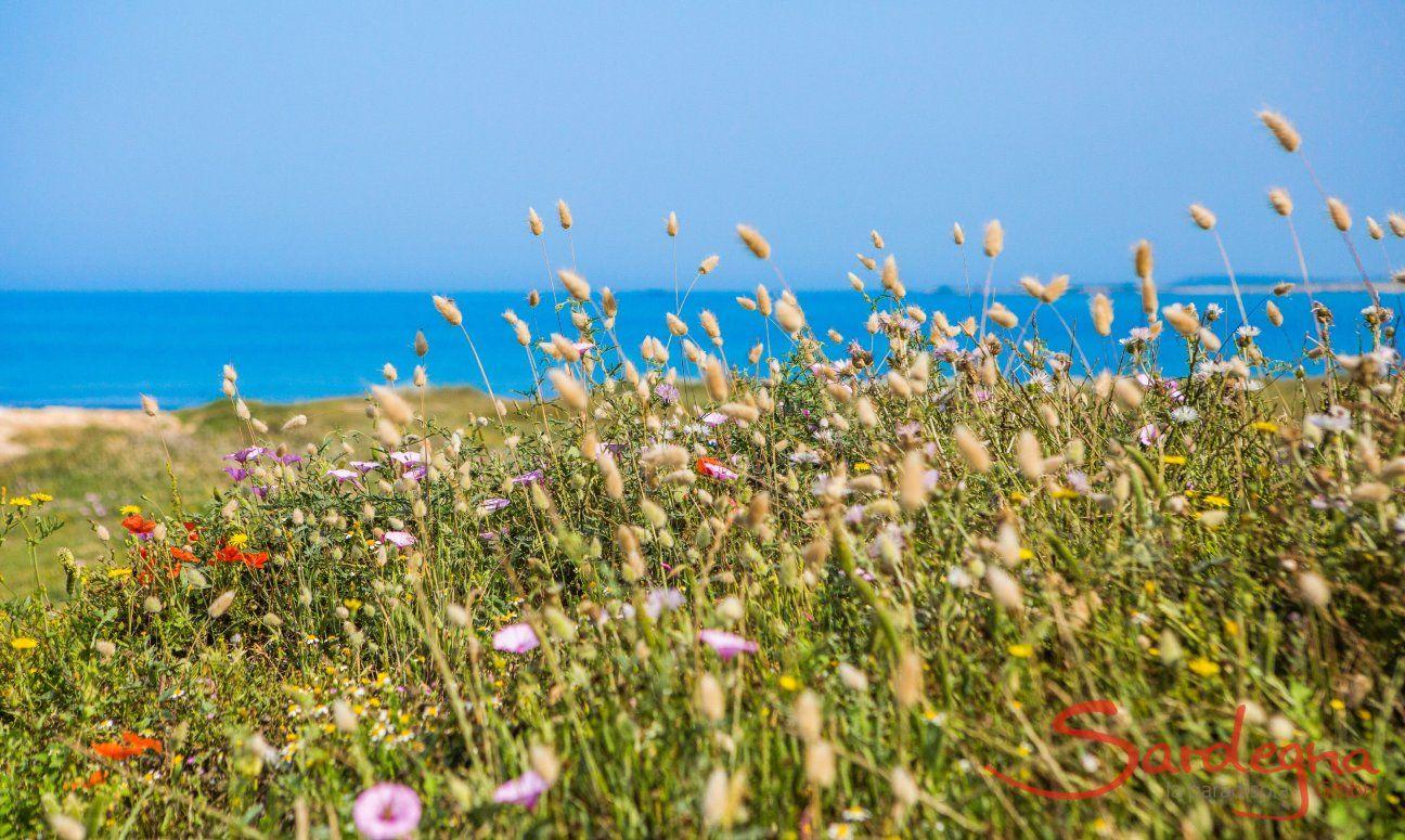 Wilde Kornblumen am Strand von Is Arutas