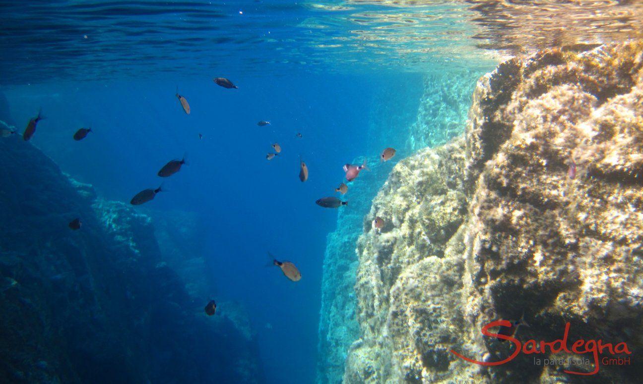 Unterwasseraufnahme Brandbrassen