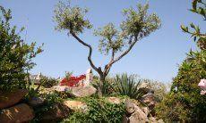 Olivenbaum hinter dem haus