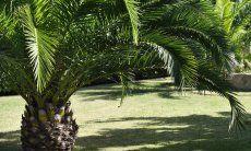 Palme im gepflegten Garten