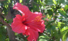 Rote Hibiscusblüte vor grünen Blättern