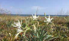 Strandlilien -Sea Daffodil - Gligli di mare