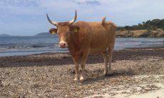 Chia | Sonnenbadende Kuh am Strand von Piscinni