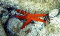 Unterwasseraufname Purpurseestern